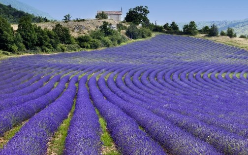Beautiful lavender fields are pictured in Provence France.  Row upon row of organic purple lavender flowers are presented in this picture from Organic Teas Canada providing fresh and fragrant herbs from a social and environmentally responsible supplier which are non-GMO, non-irradiated, non-sulfited and free of sanitary gasses.  Botanical products have been carefully analyzed for quality, safety and true botanical identity.